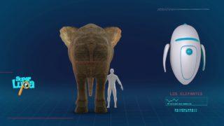 Las orejas más espectaculares – Los Elefantes | SUPER LUPA |  TERCERA TEMPORADA